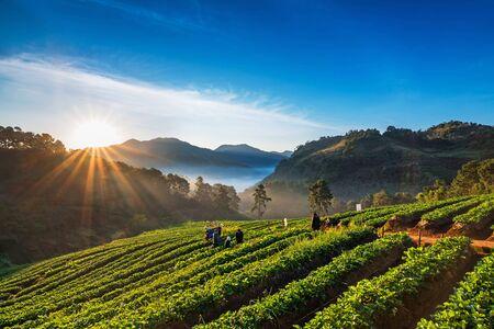 Group of tourist people enjoying sunrise on strawberry plantation at Doi Ang Khang , Chiang Mai, Thailand.