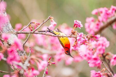 Sunbird bird, Goulds Sunbird with Sakura pink flower in Ang Khang Nation Park, Chiang Mai, Thailand.