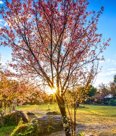 Sunrise with the Cherry Blossoms tree at the lake, Chiang Mai, Thailand. Stock Photo