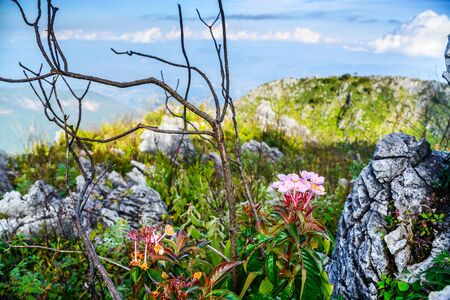lejos: Pink flower on Chiang Dao Mountain ; Chiang Mai; Thailand.  Landscape at the Southern of Himalayan range in Asia on the highest point of Mt. Chiang Dao; Chiang Mai; Thailand.
