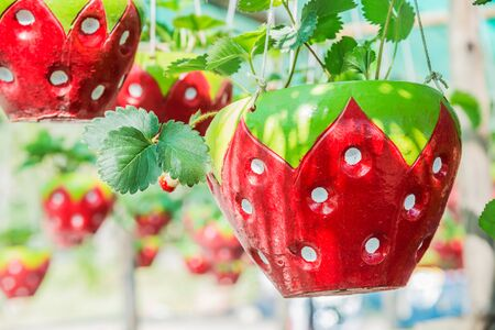 Potted tree shaped strawberry hanging for decoration.