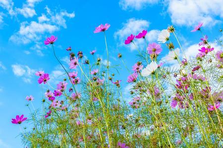 Cosmos flowers in summer.