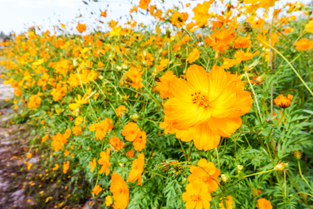 clearly: Yellow cosmos flower field in the blue sky Stock Photo