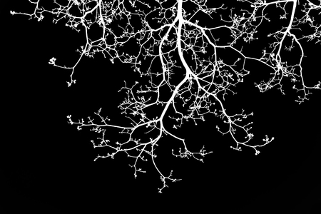 white branches isolated on black background Stock Photo