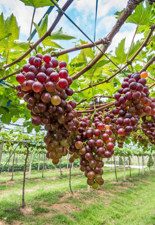 bunches: Bunches of ripe grapes in a vineyard  before harvest.