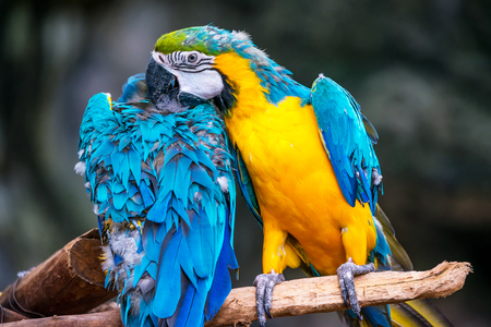 Colorful blue and gold parrot macaw sitting on branch