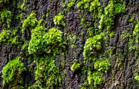 Green moss on large tree bark, Inthanon National Park, Chiangmai Province, Thailand.