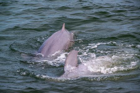 Irrawaddy dolphin, Ayeyarwaddy dolphin in gulf of Thailand