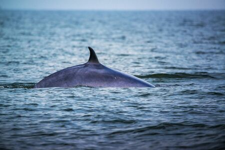 Big Brydes Whale, Edens whales living in the gulf of Thailand  Stock Photo