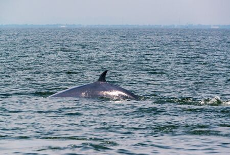 Big Brydes Whale, Edens whales living in the gulf of Thailand
