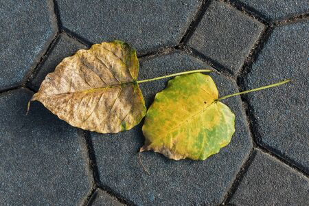 Pho Or Bodhi Leaf, Top view of Pho Leave on the ground. selective focus Stock Photo