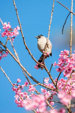 Sooty-headed bulbul on tree branch, Bird in Thailand.