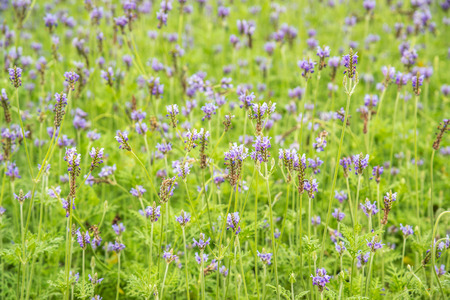 Closeup of the lavender field in summer Stock Photo