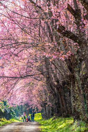 THAILAND, CHIANG MAI - January 16, 2018 : Unidentified tourists enjoy the spring sakura cherry blossoms at Khun Wang Royal Project Development Center in Chiang Mai, Thailand. On January 16 2018.