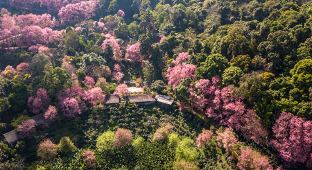 Cherry tree or sakura flowers blossom are blooming in spring garden on natural background. Top view landscape. Aerial view drone.