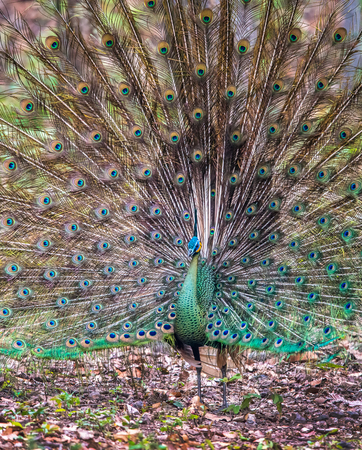 Peacock in Full Display, Beautiful Peacock in the forest, Thailand.