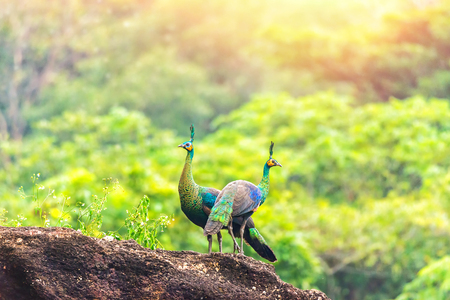 Beautiful Peacock in morning in the forest, Thailand. Stock Photo