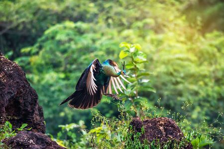 Beautiful Peacock jumping in the forest, Thailand.
