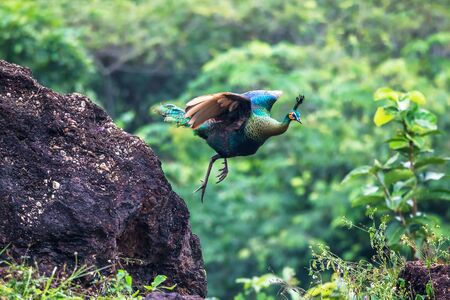 Beautiful Peacock jumping in the forest, Thailand.  Stock Photo