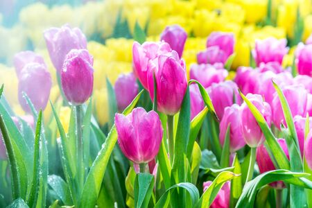 Beautiful tulips flower and green leaf background in the garden, Summer garden landscape design. Stock Photo