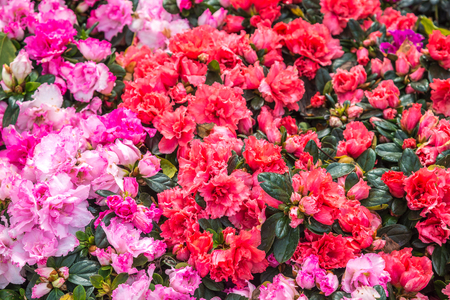 Wild rose flowering in garden (Rhododendron arboreum), Moscow region, Russia Stock Photo