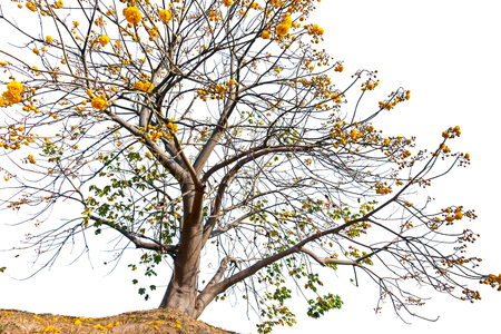 Yellow Cotton Tree Isolated on white background, Cochlospermum tree.