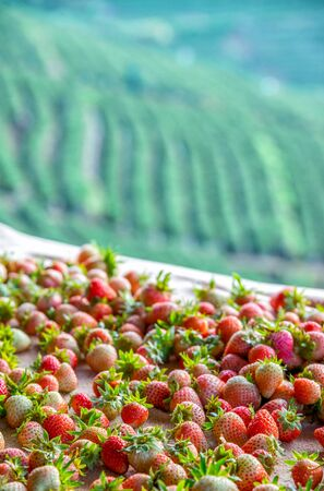 Strawberry in field Doi Angkhang , Chiang mai in Thailand. Stock Photo