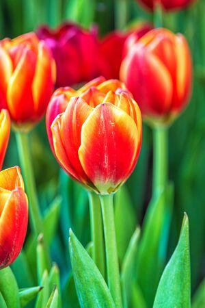 Tulips spring bloom in the garden