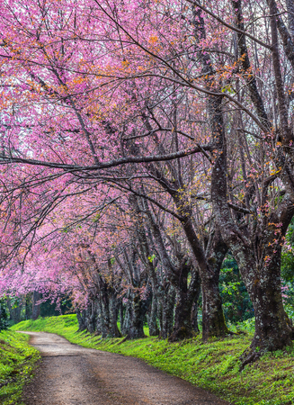 Beautiful spring cherry blossoms , Cherry flowers on a cherry tree branch, Pink cherry blossom in full bloom.