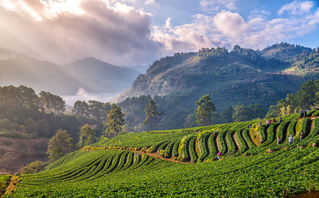 Landscape sunrise at terraced strawberry garden Doi Ang Khang , Chiang Mai Thailand