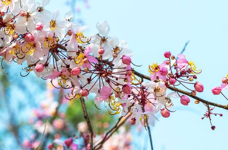 Wishing Tree ,Cassia Bakeriana Craib, Pink shower in Thailand Stock Photo