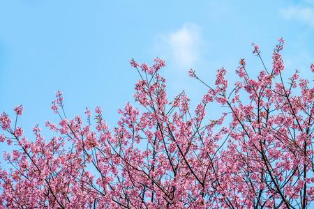 Beautiful cherry blossom in blue sky Stock Photo