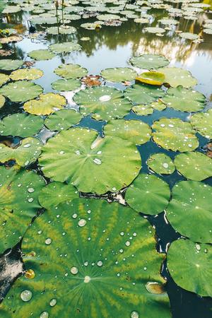 Lotus leaf with water drops, Water droplets on Lotus leaf. Foto de archivo
