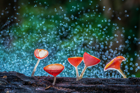 Fungi Cup Red Mushroom Champagne Cup Found in the rain forests of Thailand. Champagne mushrooms deep in the rain forest.
