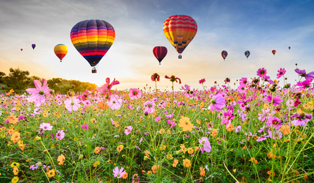 Colorful hot air balloons flying over Cosmos flower field against blue sky, Chiang Rai, Thailand.