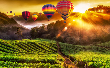 Colorful hot air balloons and misty morning sunrise in strawberry garden. Stock Photo