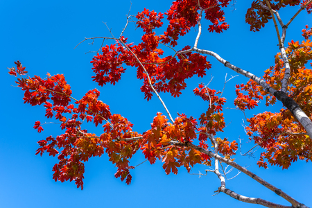 Red maple leaves in autumn season with blue sky, taken from Seoul in South Korea. Stock Photo