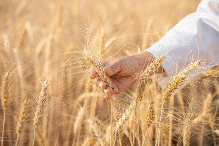 Asian woman agronomist in white coat examining wheat yields in field