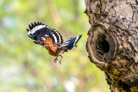 The Eurasian Hoopoe or Common hoopoe (Upupa epops) bird chicks prepares to fly out of the hole-nest Stock Photo