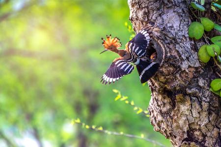 Oiseau parent nourrissant un poussin dans un nid dans un trou d'arbre. Huppe fasciée ou huppe commune (Upupa epops) oiseau.