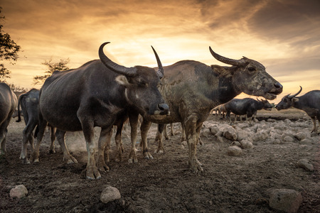 Crowd buffalos at the countryside in sunset sky, Nakhon si thammarat in Thailand