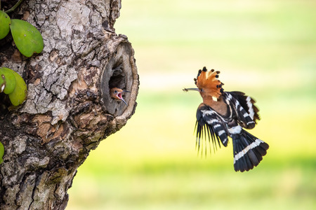 Eurasian Hoopoe or Common hoopoe (Upupa epops) 免版税图像
