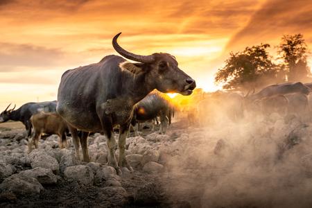 Folla i bufali in campagna nel cielo al tramonto, Nakhon si thammarat in Thailandia
