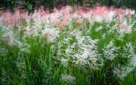 Grass flowers with strong wind in morning time Banco de Imagens