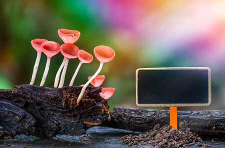 Blank black board with orange mushroom in rain forest