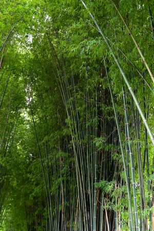 Green bamboo in the forest nature background Фото со стока