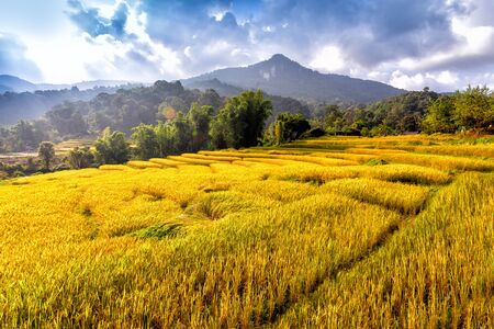 Golden rice field in Chiang Mai, Thailand