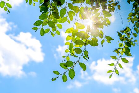 Green summer leaves and blue sky with sun.