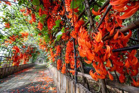 Bouquet of New Guinea Creeper, Red Jade Vine, Orange Flower in the garden Imagens