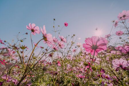 Pink cosmos flowers garden against sunbeams in the morning over clear empty sky with copy space for text, Summer love nature Concept background